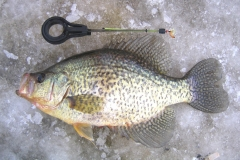 16. Crappie from Ontario