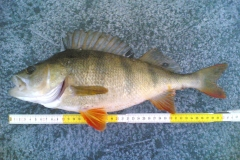 17. 16 1/2 inch, 1.1kg Perch from Sweden on Marmish rod. Ove E.