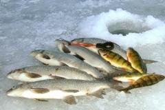 6. White Fish & Perch from Gull Lake, Alberta