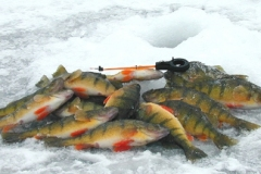 7. Perch from Long Lake, Alberta