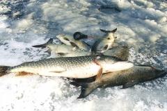 8. Pike & White Fish from Gull Lake, Alberta